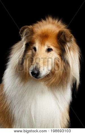 Portrait of Old Shetland Sheepdog Dog on Black Background poster