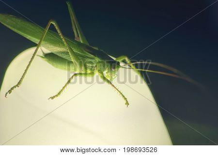 Large green locust grasshopper sitting at night on a lamp.