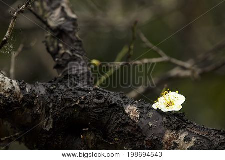 Beautiful Plum Blossom With Nice Background Color