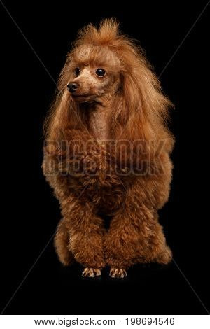 Red Toy Poodle Dog Sitting on Isolated Black Background, front view
