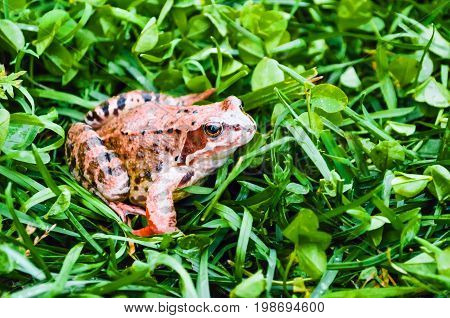 Brown Frog, A Toad In Wet Grass In A Meadow Bog