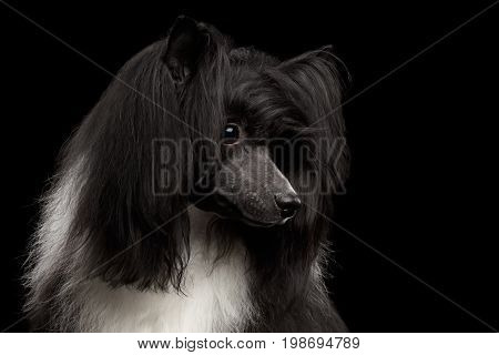 Portrait of Chinese Crested Dog on black background, profile view