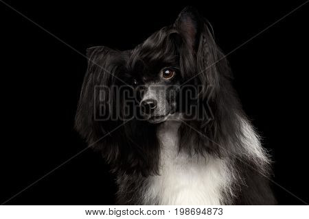 Portrait of Chinese Crested Dog on black background, front view