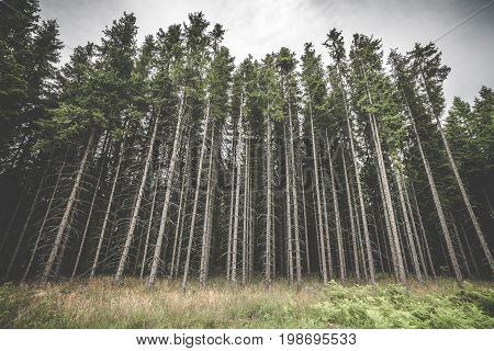 Tall Pine Tree Forest With Spooky Withered Branches