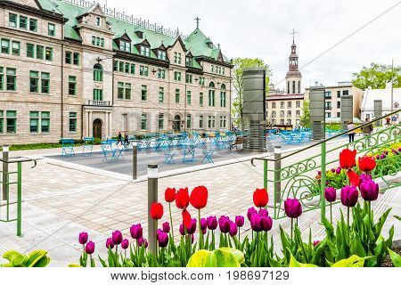 Quebec City Canada - May 29 2017: Closeup of purple and red tulips in old town with Hotel de Ville City Hall by stairs