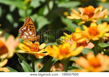 Queen of Spain Fritillary butterfly, Issoria lathonia on flower in garden.  Fritillary butterfly in natural habitat