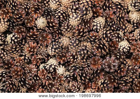 Many dry and open pine cones. Natural background