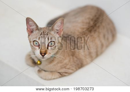 Tabby cat of cream color sits having a golden bell on her neck. White background. She is a dweller of a peaceful Buddhist temple (Wat Pathum Wanaram) in the middle of busy business center of Bangkok