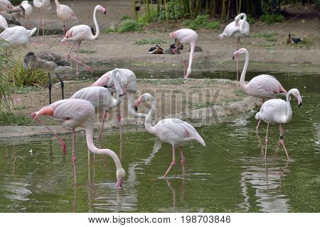 Pink Flamingos birds in lake