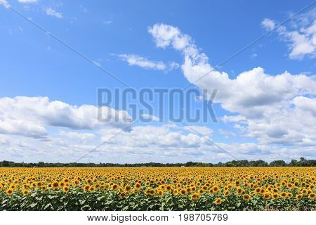 A Sunflower field in full bloom under a blue sky with white puffy clouds