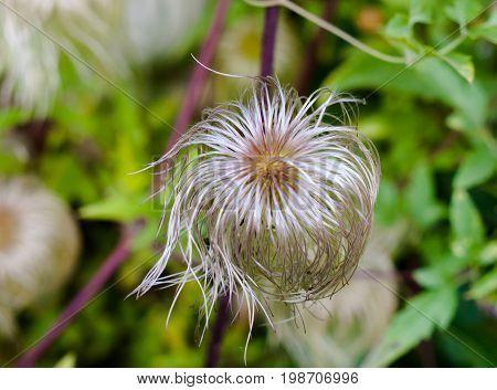 Spiral Strands Of Seedhead Of An Alpine Pasqueflower