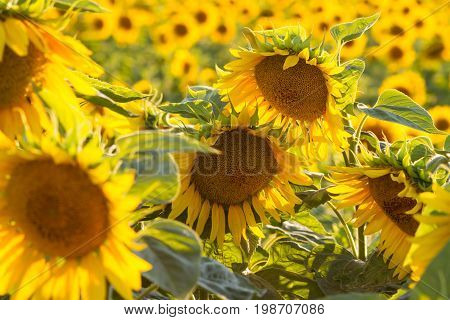 Amazing beauty of sunflower field with bright sunlight on flower