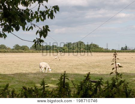 Uk Meadow Field Grass Land Farm With Sheep Grazing