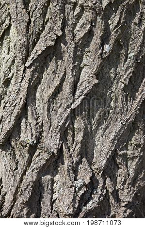 texture and patterns in a poplar bark background image in summer