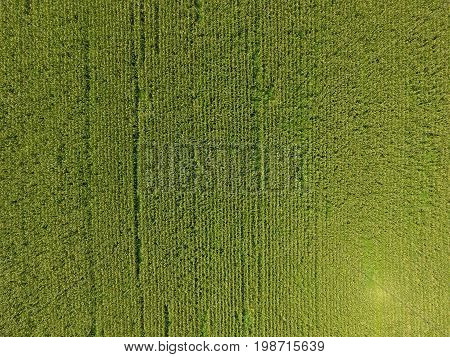 Field Of Corn. Green Corn Blooms On The Field. Period Of Growth And Ripening Of Corn Cobs.