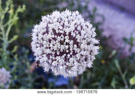 The onion plant that has become ready to seed,