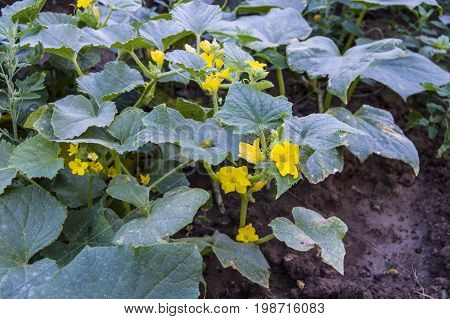 Cucumber plants in the garden, cucumbers opened yellow flowers, organic natural cucumbers, no medicines, fresh cucumber pictures without hormones,