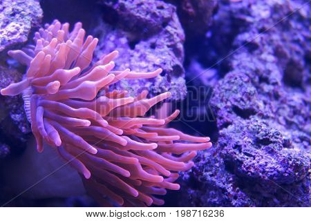 Macro shoot of sea anemone tentacles in pink color. Aquarium with beautiful violet and blue colors. Stones on background.
