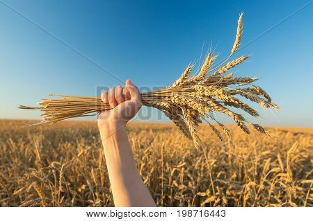 agriculture, feminism, nature concept. raised up delicate hand of caucasian woman clutching in her fist bunch of yellow ears with mellow grains of barley on background of field and blue sky