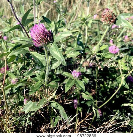 Wild Red Clover growing in the Wisconsin Wilderness