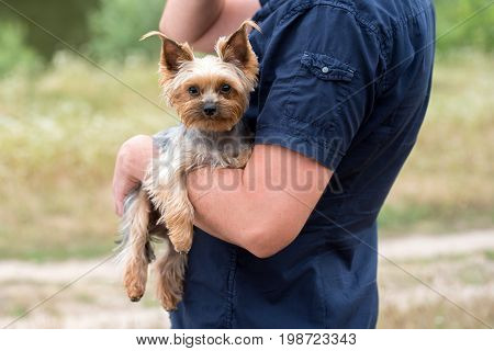 Portrait of cute Yorkshire Terrier Dog on male hand in summer outdoors. Man in shirt with yorkie on hand
