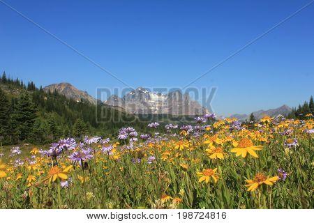 Wild flowers in Elysium Pass, Jasper National Park