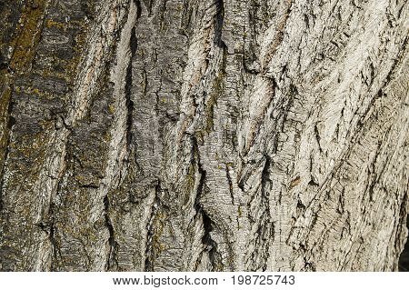 Pictured shells of the poplar tree growing in the continental climate, pictures of poplar tree