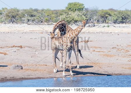 A Namibian giraffe bull giraffa camelopardalis angolensis tests the reproductive condition of a female by sniffing her urine