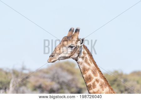 Close-up portrait of a Namibian giraffe giraffa camelopardalis angolensis in northern Namibia