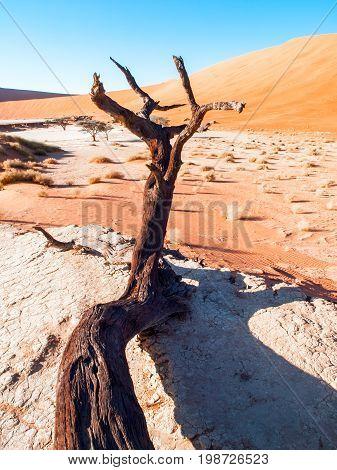 Dead camel thorn trees in Deadvlei dry pan with cracked soil in the middle of Namib Desert red dunes, near Sossusvlei, Namib-Naukluft National Park, Namibia, Africa