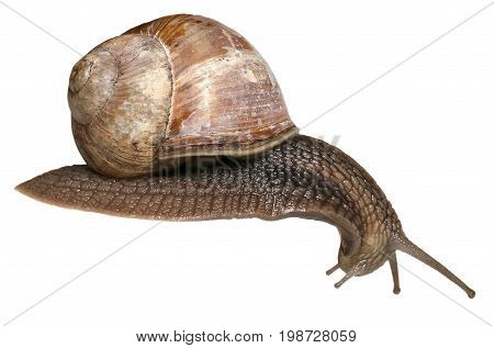 Garden snail on white background. Helix pomatia