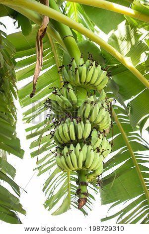 green bunch of bananas on banana tree