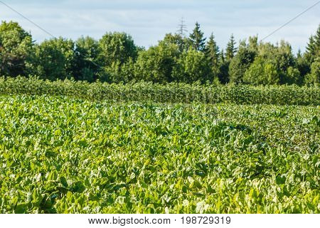 Rows of fodder beet on the field. Rural scene. Crop and farming