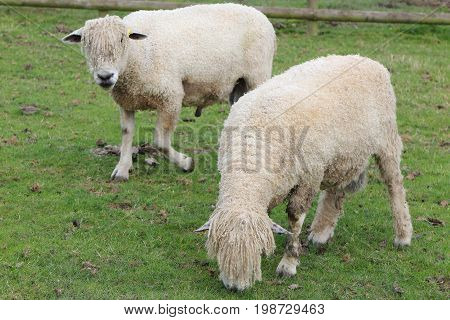 Pair Of Cotswold Sheep (ovis Aries) Grazing In A Farm Pasture