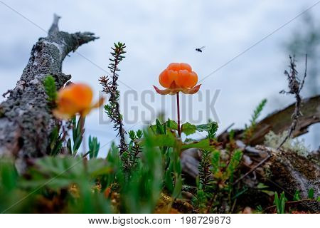 Ripe cloudberry grows on a swamp in Russia. The fly is going to sit on the berry.