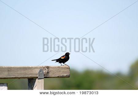 Red-winged Blackbird (agelacius Phoeniceus)