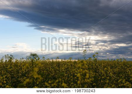 An image of a ripe canola field against a stormy summer sky.