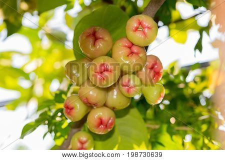 Syzygium fruits and leaves on a tree branch in a tropical garden with blurred vegetation lit by sunshine in the background. Water rose apple in Thailand