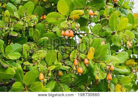 Cashew nut plant - leaves, fruits and nuts