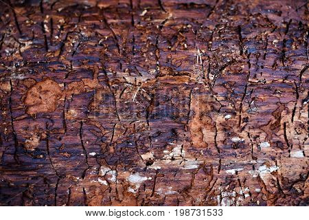 Traces of bark beetle on tree trunk. Beautiful patterns created by nature