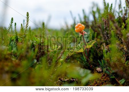 Ripe cloudberry grows on a swamp in Russia. Healthy food in wood