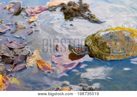 Red-eared slider (Trachemys scripta elegans), or red-eared terrapin among fallen leaves in the waters of a temple pond in Wat Phai Lom, Trat town, Thailand