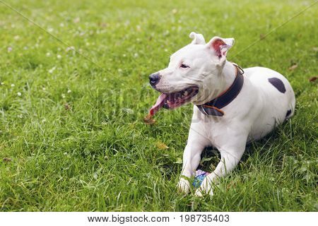 White american staffordshire terrier lying in the grass with her toy near. Two years old female dog. Outdoors.