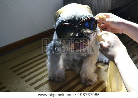 Stylish and fashionable miniature schnauzer dog getting dressed up to go out on sunny day