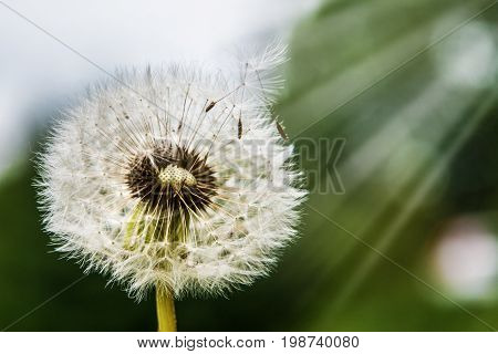 big dandelion against sky, part of the parachutes fly in the sky. Bright flower painting