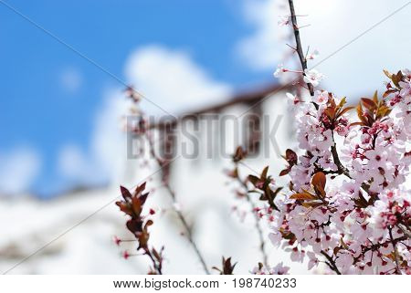 Blooming tree in front of blurred Potala palace wall in Lhasa, Tibet and blue sky