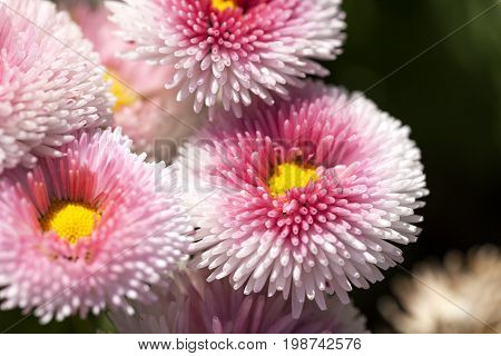 Flowers of dais (Bellis flower) white pink blooming in the meadow close up.Bellis is a genus of flowering plants in the sunflower family
