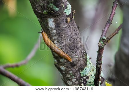 A brown slug glides over the bark of a lichen covered tree in the forest.