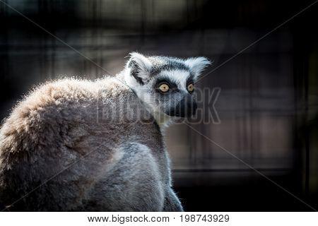 monkey Ring-tailed lemur (Lemur catta). Wild life animal.