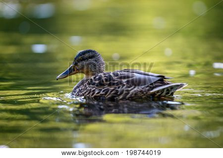 The mallard or wild duck (Anas platyrhynchos) swimming in water